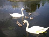 Swans and little chicks.jpg